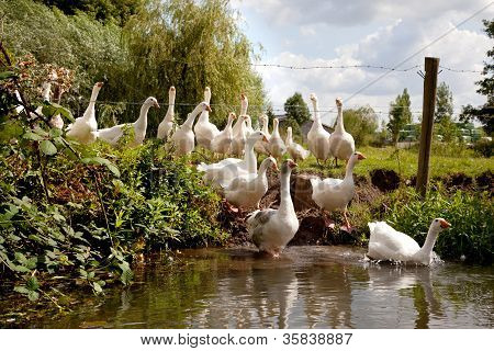 flock of white geese entering the river