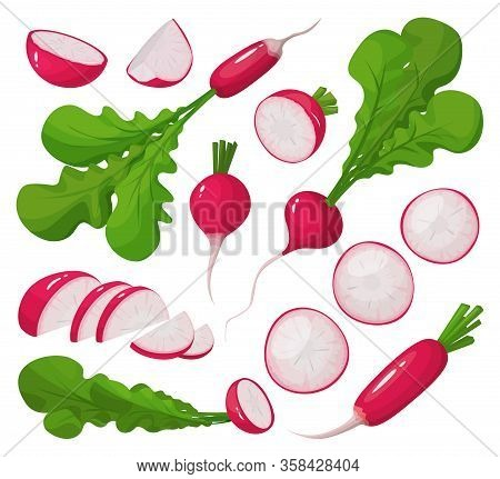 Red Radish Vector Cartoon Set Icon. Vector Illustration Vegetable On White Background. Isolated Cart