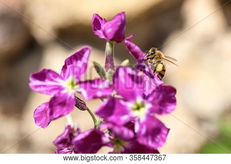 Closeup Spring Honey Bee Collect Pollen Over Violet Flower, Pollination Ecosystem
