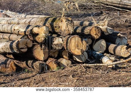 Pile Or Heap Of Cut Tree Trunks On The Ground Or Soil In The Sunny Spring Or Autumn Weather In Unaut