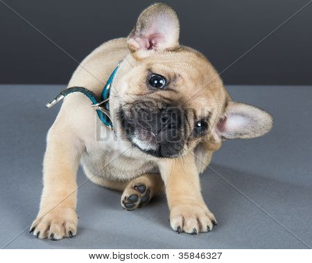 French Bulldog Puppy With Head Cocked To Side, Looking Straight At Camera