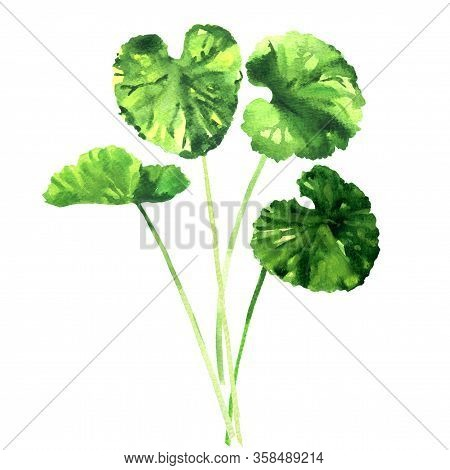 Green Gotu Kola Leaves, Centella Asiatica, Asiatic Or Indian Pennywort, Herbal Thankuni Leaf, Herb A