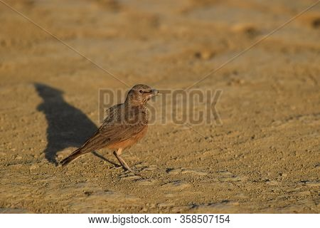 Rufous-tailed Lark Also Known As Rufous Tailed Finch Lark Is Ground Bird Found In Drier Open Stony H