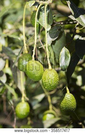 Avocado Fruits On The Tree Ready For Harvest. Hass Avocado - Persea Americana 'hass'