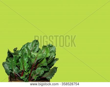 Bunch Of Fresh Beet Greens Chard Collard Leafs Known As Leafy Greens On Chartreuse Background. Healt