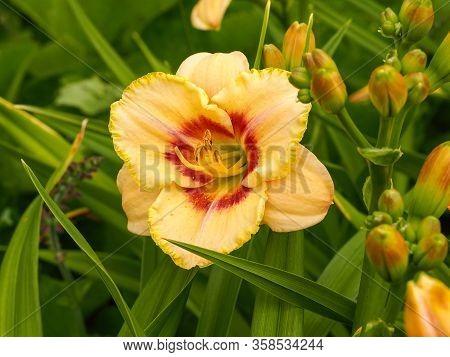 Closeup Of A Large Orange And Yellow Bloom Of Hemerocallis Custard Candy