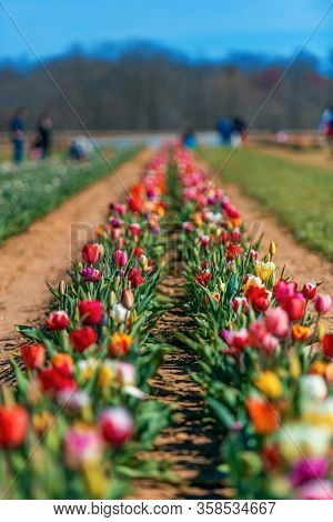 Tulip in farm with beautiful colors in Spring.