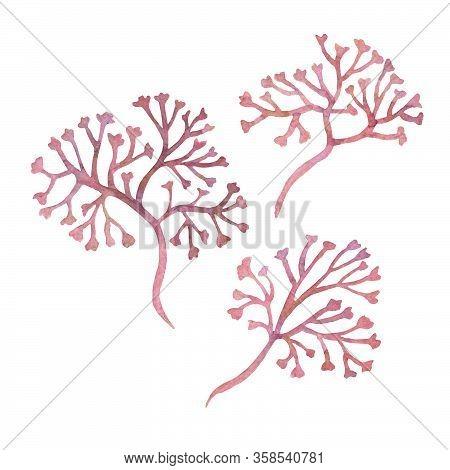 Watercolor Clipart Of Irish Sea Moss. Set Of Red Algae, Weed