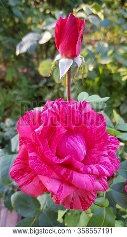 Beautiful Red Rose Flower And Red Rose Bud On Long Green Stem Closeup. Variegated Petals Of Luxurian