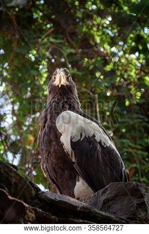 Adult Stellers Sea Eagle. Halyaetus Pelagicus Is The Largest Representative Of The Entire Hawk Famil