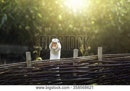 Curious Funny Goose Staring From Behind A Wattle Fence On A Sunny Day. Cute White Goose Portrait In