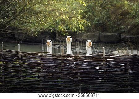 Funny White Geese Behind Wattle Fence Looking Straight Towards The Camera.  Three Geese Behind A Fen
