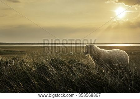 Woolly Lamb In Marram Grass At Sunrise, On The Coastline Of Sylt Island, At The North Sea, Germany,