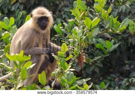 Hanuman langur sitting on a branch, Odisha province, India