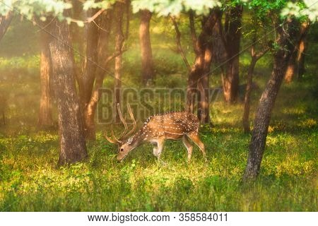 Bautiful male chital or spotted deer grazing in Ranthambore National Park, Rajasthan, India