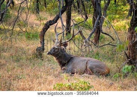 Male sambar (Rusa unicolor) deer resting in the forest. Sambar is large deer native to Indian subcontinent and listed as vulnerable spices. Ranthambore National Park, Rajasthan, India