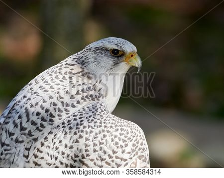 the gyrfalcon, bird of prey (Falco rusticolus), the largest of the falcon species
