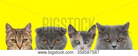 cute couple of four cats consisting of two metis cats, a Scottish Fold cat and British Longhair cat are standing side by side and looking ahead on yellow background