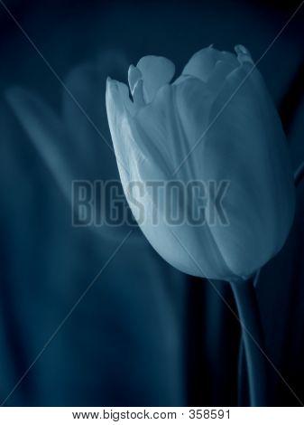 Blue Tulip