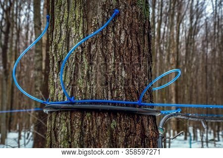 Modern Plastic Tap Attached To A Maple Tree To Collect Sap. Canada.