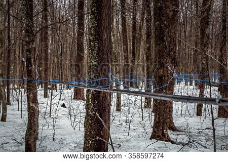 Collecting Maple Sap In Spring.