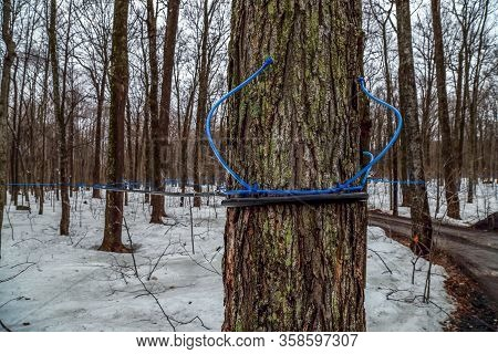 Plastic Tubing Attached To Maple Trees To Collect Sap. Canada. Quebec.