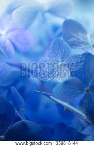 Beautiful blue. Blue Hydrangea (Hydrangea macrophylla) or Hortensia flower with dew with incoming light. Shallow depth of field for soft dreamy feel.