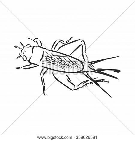 Cricket. Grig. Gryllus Campestris. Sketch Of Cricket. Cricket Isolated On White Background. Cricket
