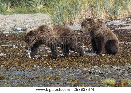 Brothers - Two Young Grizzly Bears On The Coast Of Katmai, Alaska