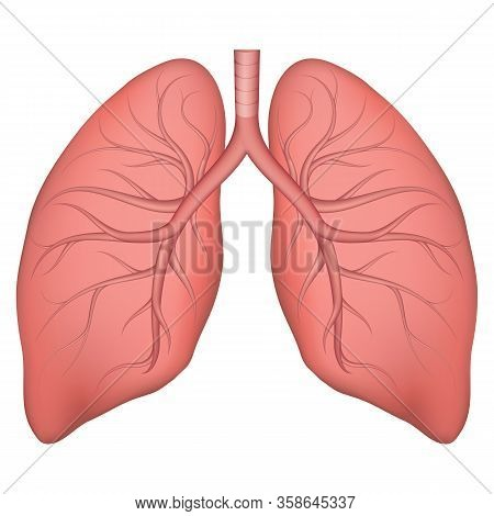 Vector Illustration Of Human Lung Structure. Realistic Drawing For Anotomy Biology Textbook Or Artic