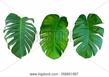 Collection Of Green Leaf Monstera On White Background, Real Tropical Jungle Foliage Plants.
