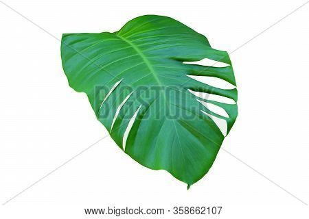 Green Leaf Of Monstera On White Background, Real Tropical Jungle Foliage Plants.