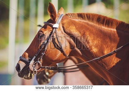 Portrait Of A Strong Red Racehorse With A Short-cropped Mane And A Bridle On Its Muzzle On A Sunny S
