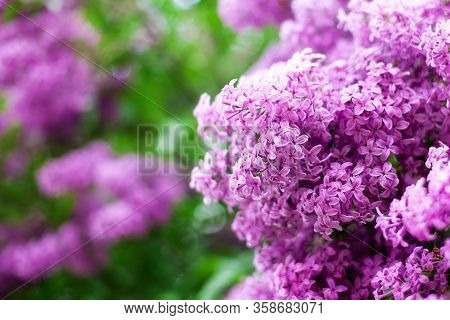 Blossom Lilac Flowers In Spring In Garden. Branch Of Blossoming Purple Lilacs In Spring. Blooming Li