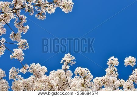 Cherry blossoms framing the sky during Cherry Blossom Festival in Washington DC, USA