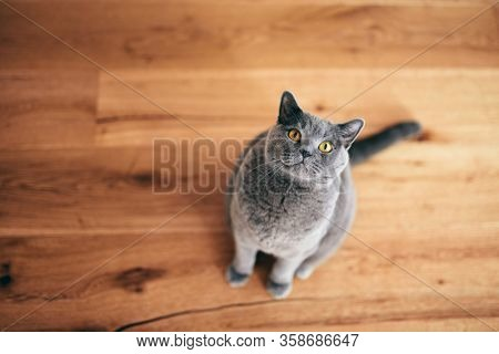 Funny British cat sitting and looking at the camera. British shorthair breed