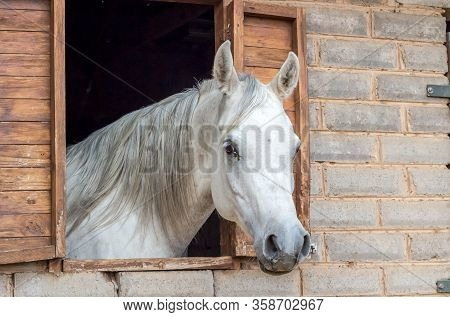 Beautiful Arabian Horse Looking Out Of Stall Window At Brick Stable - Arabian Horse Portrait