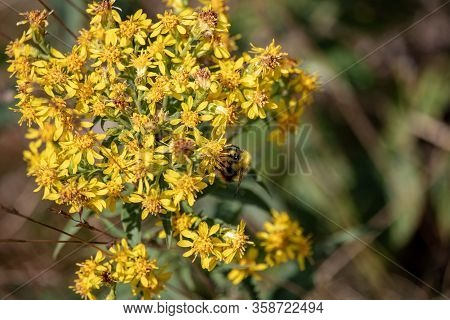 Image Of A Bumblebee, On Yellow Flowers Senecio Ovatus In The Austrian Alps. The Focus Is On The Flo