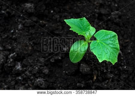 Young Green Sprouts In The Ground. Cucumber Shoots. Green Leaves. Black Soil. Vegetable Plants. Agri