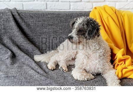 Stay Home. Pet Care. Cute Bichon Frise Mixed Breed Dog On The Sofa At Home With Copy Space