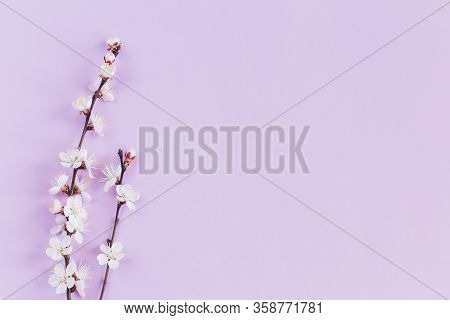 Blossoming Branches Of Apricot Tree On A Pastel Violet Background. Minimal Spring Concept. Flat Lay.