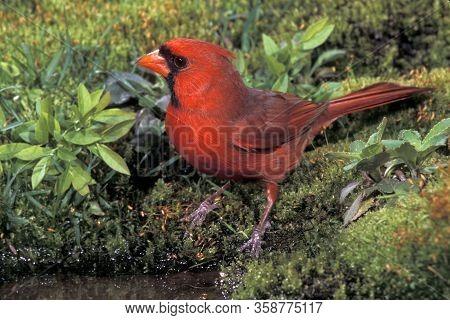A  Male Northern Cardinal, Cardinalis Cardinalis Drinking At The Edge Of A Small Pond