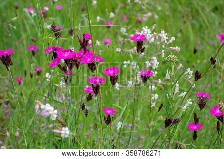Pink Carnations On Field. Summer Flowers. Vibrant Color