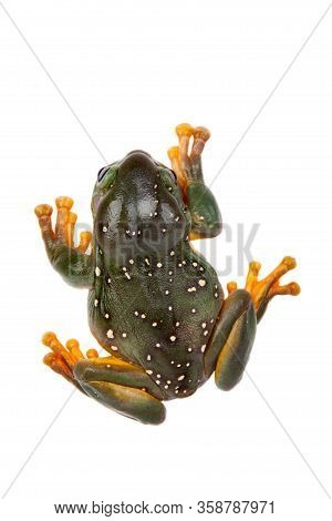 The Magnificent Tree Frog Or Splendid Tree Frog On White Background