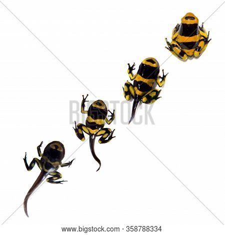 The Bumblebee Poison Dart Tadpole To Froglet Development On White