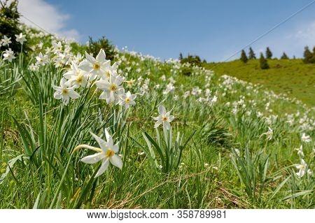 Wild Daffodils Field. Touch Of Spring. Transilvania , Romania