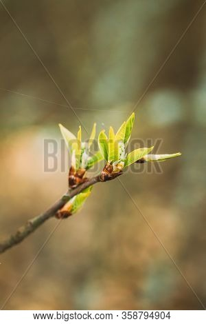 Young Spring Green Leaf Leaves Growing In Branch Of Forest Bush Plant Tree. Young Leaf On Boke Bokeh