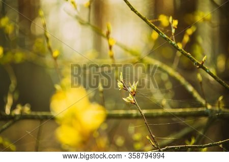 Young Spring Green Leaf Leaves Growing In Branch Of Forest Bush Plant Tree During Sunrise Or Sunset.