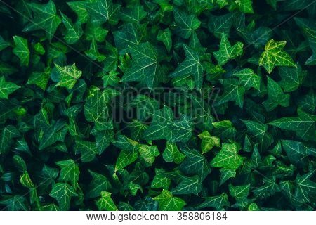 Frame Filling Horizontal Image Of Mature Ivy Plant Growing On A Wall