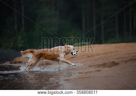 The Dog Is Playing On The Beach. Active Golden Retriever In The Water, On Nature. Pet For A Walk